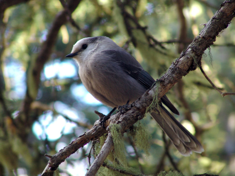 Grey Jay (Camp Robber)