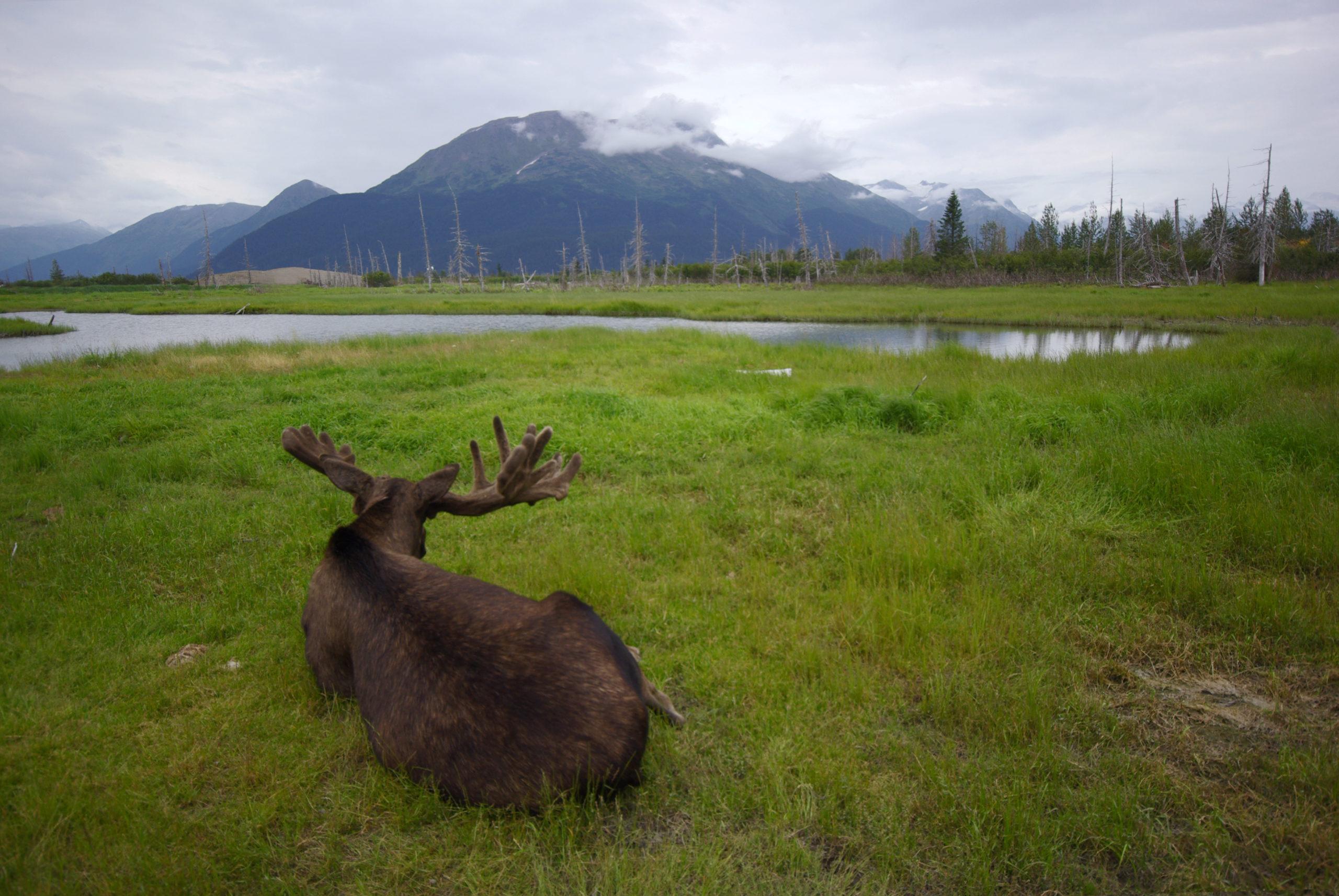 Beautiful Moose