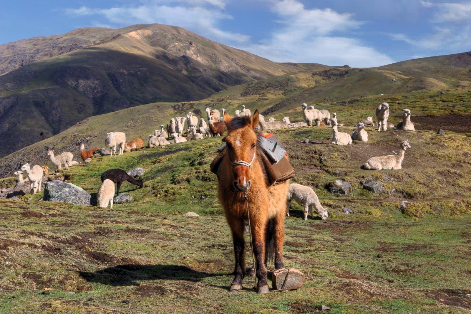 Packhorse and Llamas