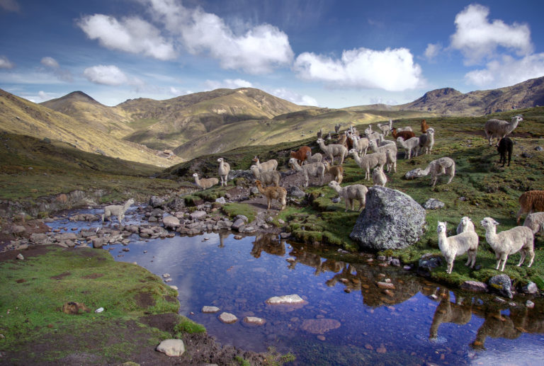 Llamas and Alpacas in the Andes