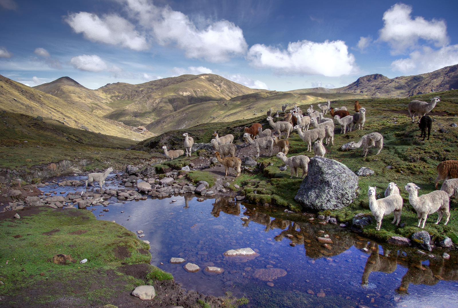 Llamas and Alpacas in the Andes