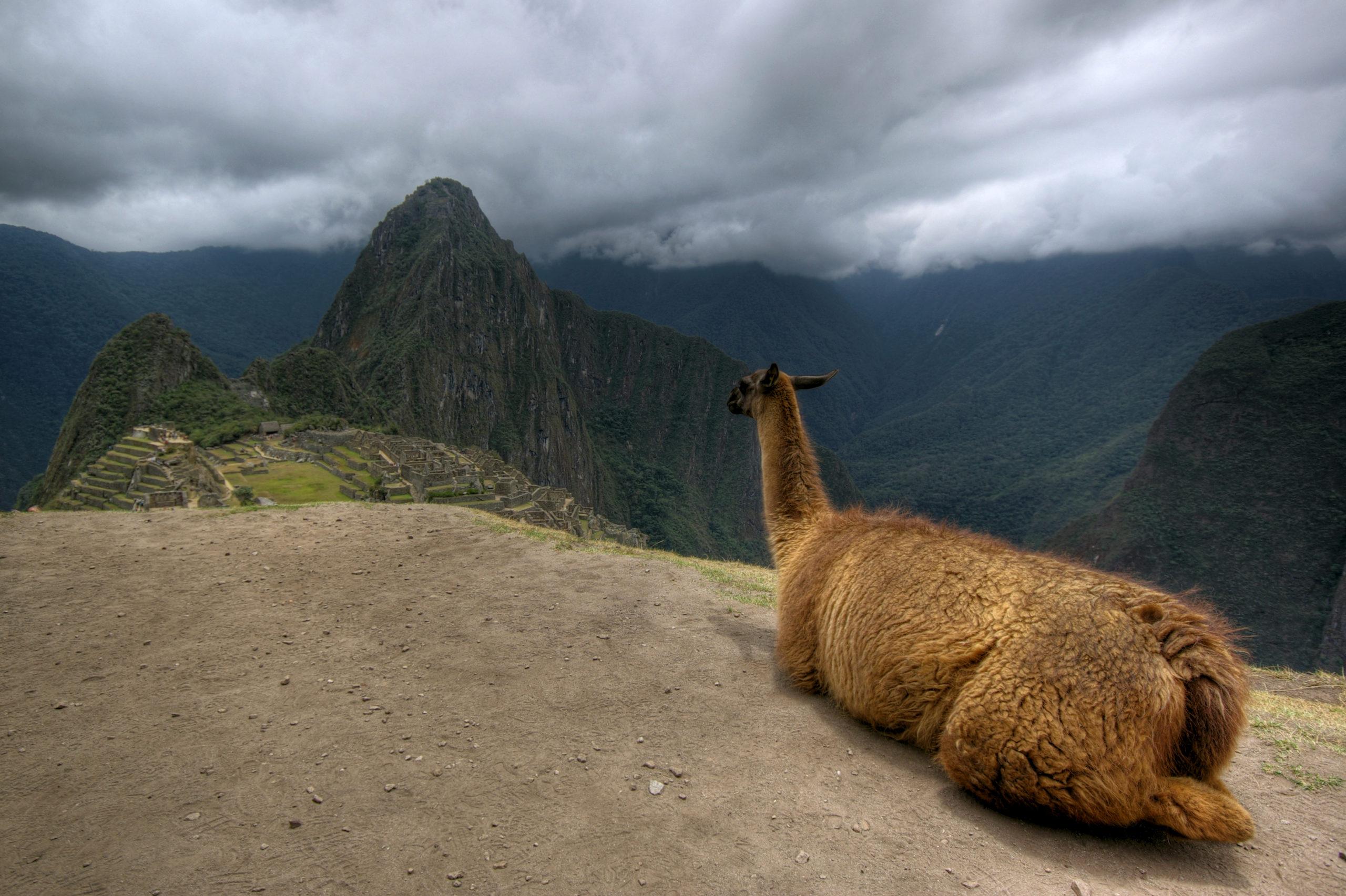 Llama Overlooking Machu Picchu