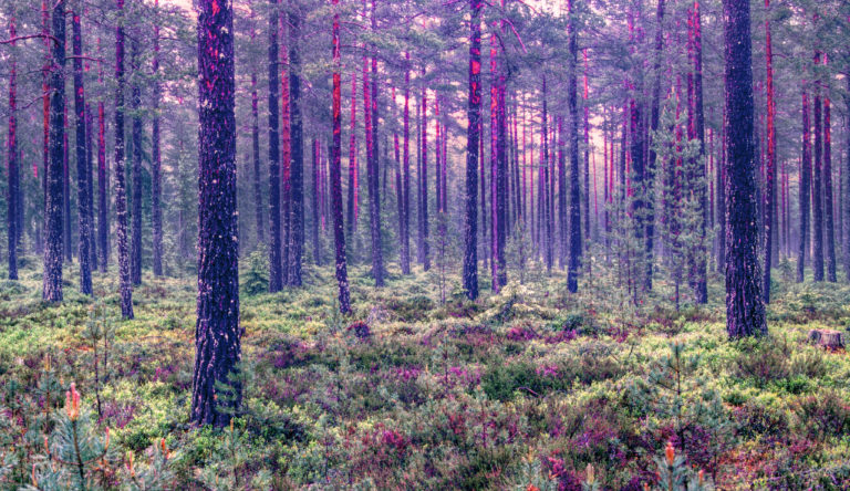 Ancient Pine Forest