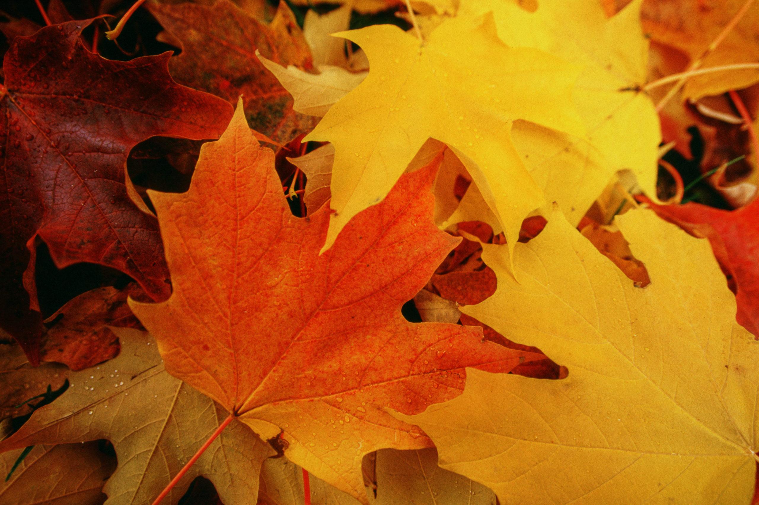 Michigan Maple Leaves in Autumn