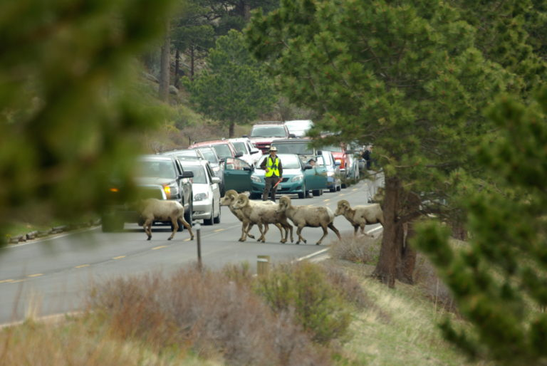 Bighorn Sheep Crossing Fall River Road