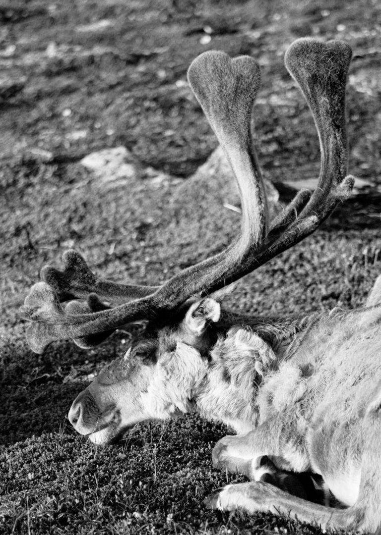 Sámi Reindeer