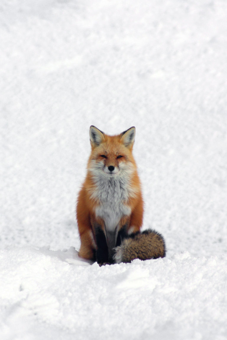 Summit Fox